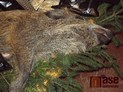 Na severu Čech je uložen intenzivní lov divočáků. Kvůli africkému moru