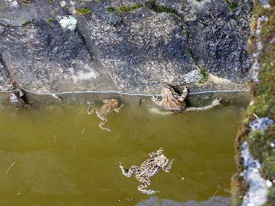 Žáby migrují k vodě přes silnice, dobrovolníci jich tisíce zachraňují