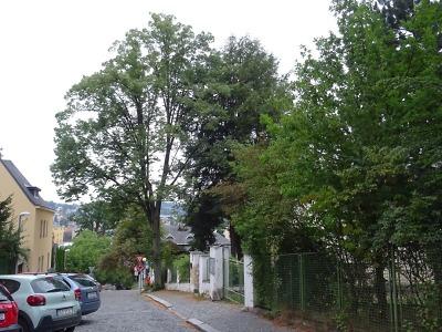 Lípa u školky v ulici Jugoslávská je nebezpečná, je třeba ji pokácet