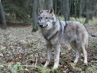 Kraj zaplatí chovatelům škody, které způsobil vlk obecný