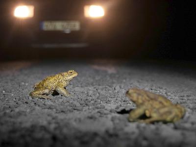 Žáby míří přes silnice k rybníkům. Dobrovolníci jim pomáhají přežít