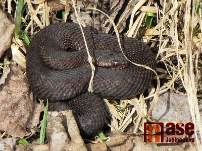 Obrazem: V Jablonci se už po zimě probudily zmije obecné