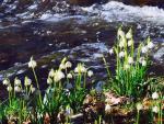 Obrazem: V údolíčku Žernovníku rozkvetly bledule